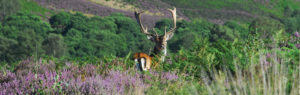Stag on Cannock Chase